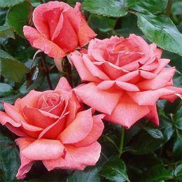 Троянда Braveheart фото