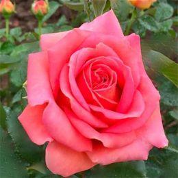 Троянда Broadway фото