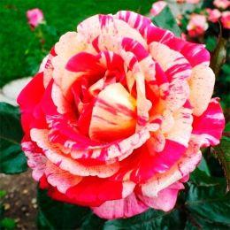 Троянда Broceliande фото