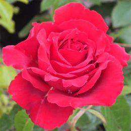 Троянда Carris фото
