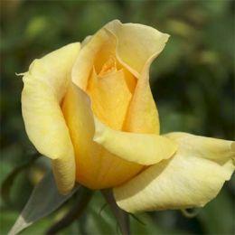 Троянда Casanova фото