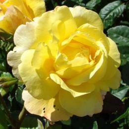Троянда Chinatown фото