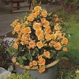 Троянда Clementine фото