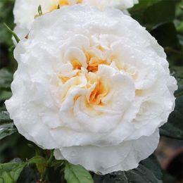 Троянда Comtessa фото