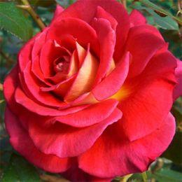 Троянда Copacabana фото