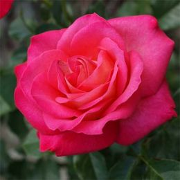 Троянда Corfu фото