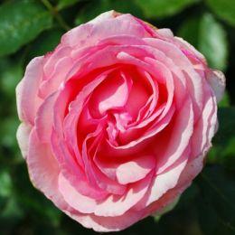 Троянда Eden Rose фото