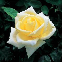 Троянда Elina фото