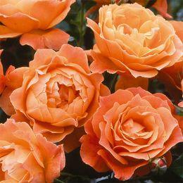 Троянда Fellowship фото