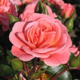 Троянда Fredensborg фото