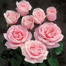 Троянда Frederic Mistral фото