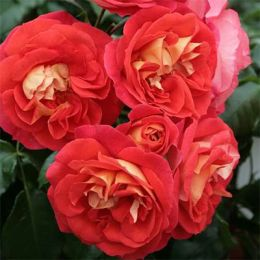 Троянда Gebruder Grimm фото