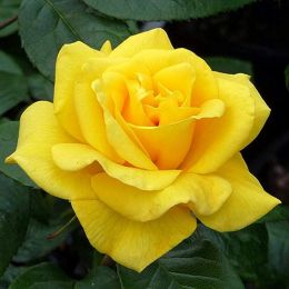 Троянда Golden Wedding фото
