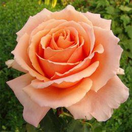 Троянда Just Joey фото