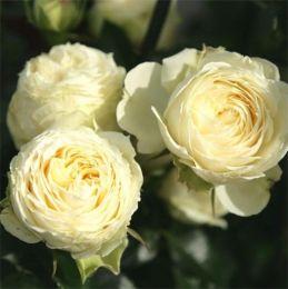 Троянда Lemon Rokoko фото