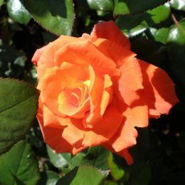 Троянда Monica фото