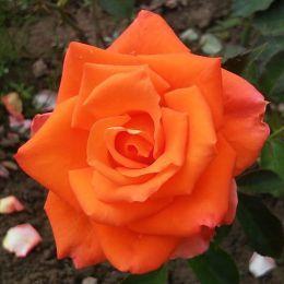 Троянда Monika фото