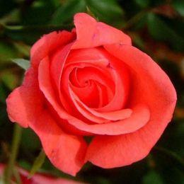 Троянда Montezuma фото