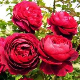 Троянда Morsdag Red фото