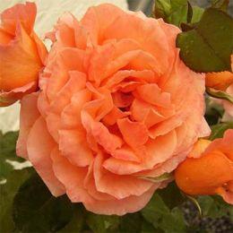 Троянда Orange Meilove фото