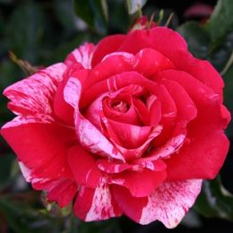 Троянда Papageno фото