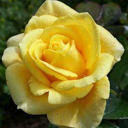 Троянда Papillon фото
