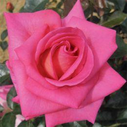 Троянда Parfum Royal фото