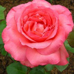 Троянда Pariser Charme фото