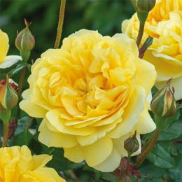 Троянда The Poet's Wife фото
