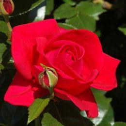 Троянда Red Flame фото