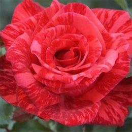 Троянда Red Intuition фото