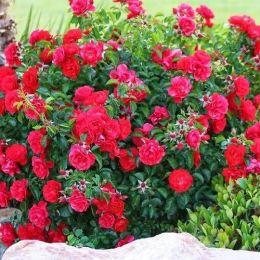 Троянда Fairy Queen фото