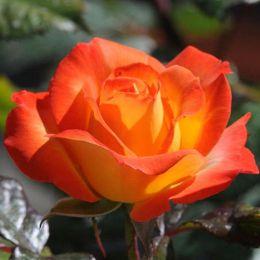 Троянда Samba фото