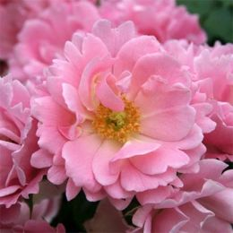 Троянда Sommerwind фото
