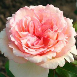 Троянда Souvenir de Baden-Baden фото