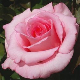 Троянда Sylvia фото