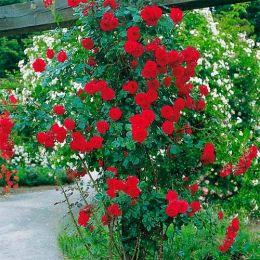 Троянда Sympathy фото
