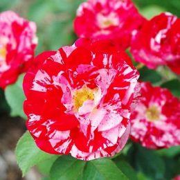 Троянда Twist фото