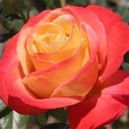 Троянда Vendee Imperiale фото