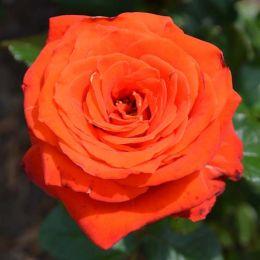 Троянда Verano фото