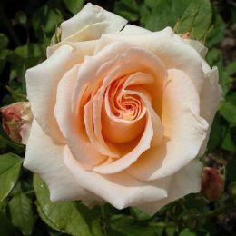 Троянда Versilia фото