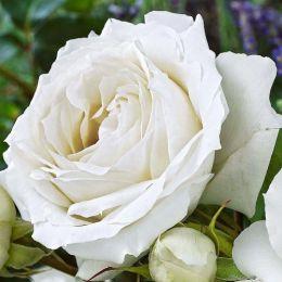 Троянда White Symphony фото