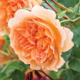 Троянда Dame Judi Dench фото