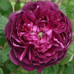 Троянда Cardinal De Richelieu фото