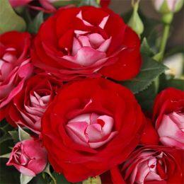 Троянда Rose der Einheit фото