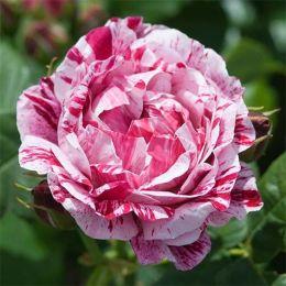 Троянда Ferdinand Pichard фото