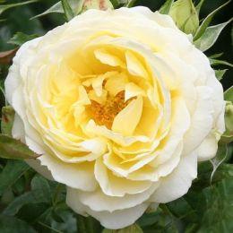 Троянда Good Ol' Summertime фото