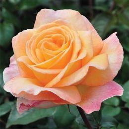 Троянда Scented Memory фото