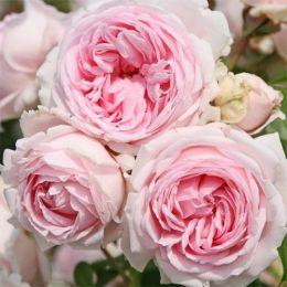 Троянда Wellenspiel фото