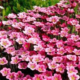 Ломикамінь Pink Blossom фото